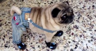 Amazing dog (Pug) walks in shoes and clothes