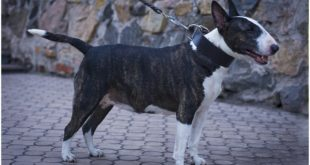 """Bull Terrier walking in """"Laconic Austerity"""" Classic Leather Dog Collar for Walking and Training"""